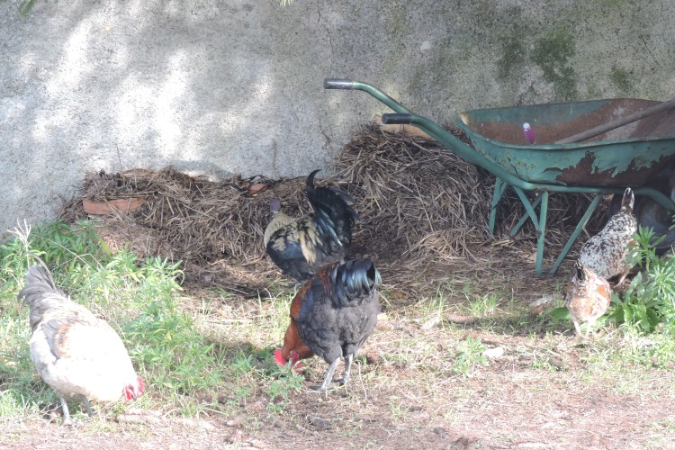 jour tranquille pour les poules